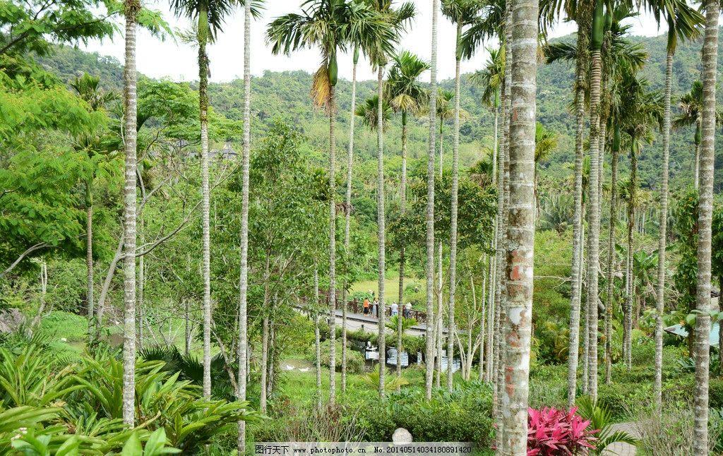 槟榔林 三亚 热带雨林 植物 树木 游客 槟榔树 三亚风光 自然风景