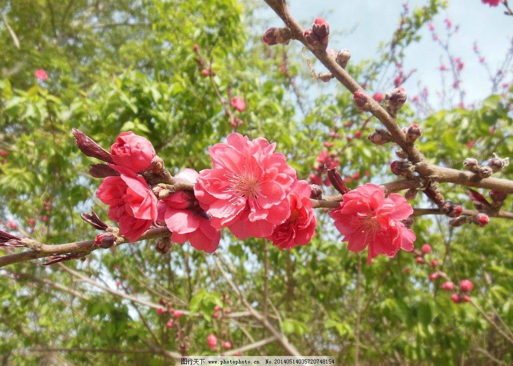 碧桃花 红色花 花朵 花束 成束花 绿叶 春天 生物世界 花草