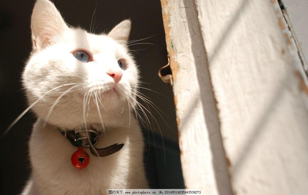 白猫 猫 家猫 小清新 可爱 家禽家畜 生物世界 摄影 300dpi jpg