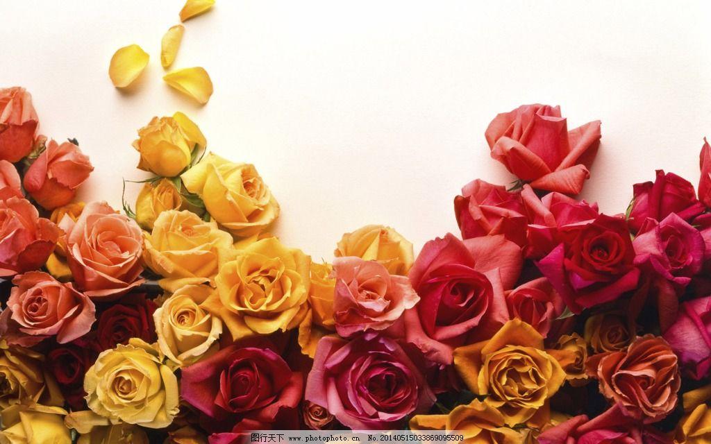 玫瑰花 彩色 花朵 浪漫