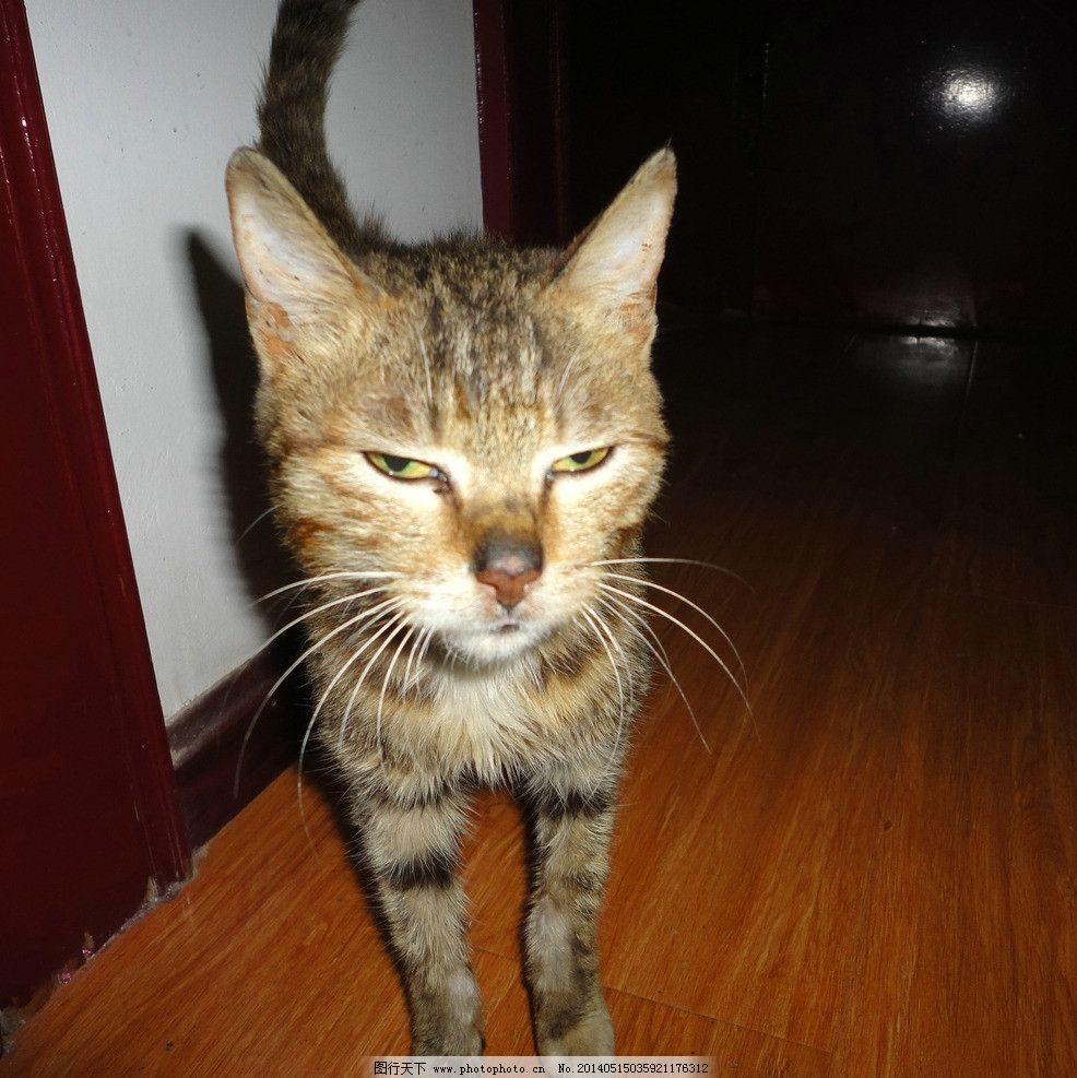 灰猫 猫 猫子 动物 家猫 麻猫 小猫 灰色猫 猫猫 家畜 家禽家畜 生物