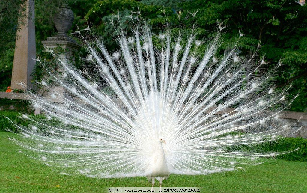 孔雀 白孔雀 孔雀的图片素材下载 孔雀的 动物 鸟嘴 美丽 鸟 蓝色