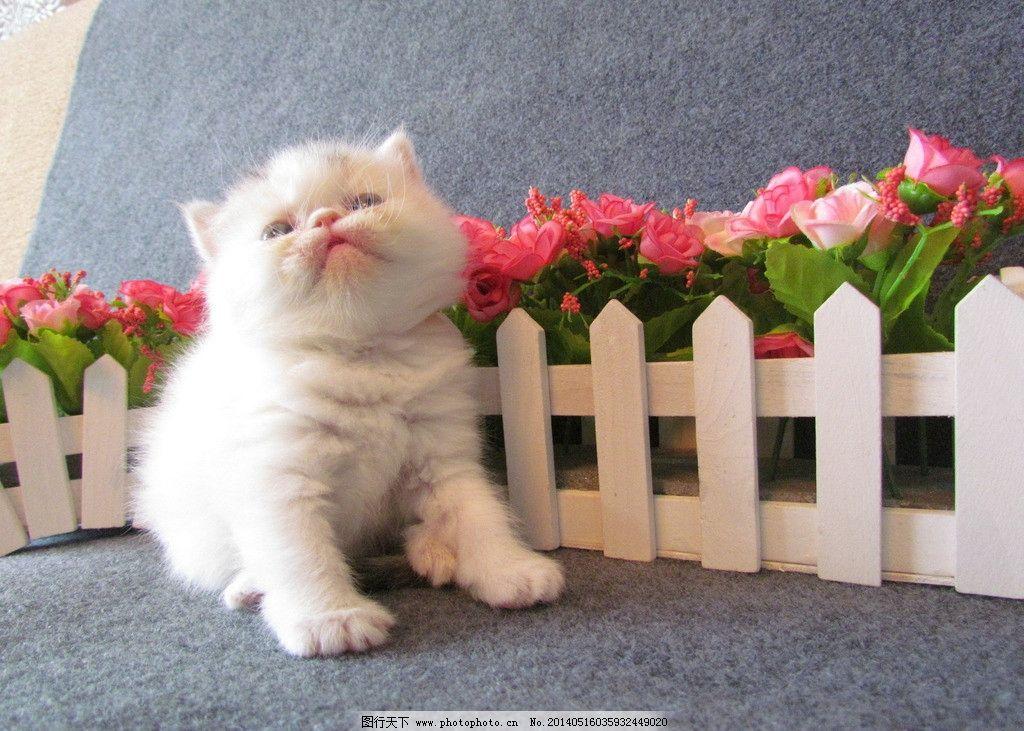 超级可爱的宠物加菲猫图片