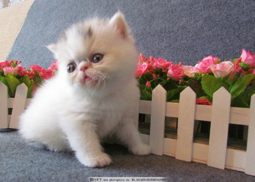 加菲猫 猫 cat 小懒猫 小猫 猫咪 喵星人 幼崽 美国短毛 宠物 家禽