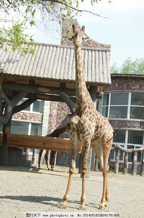 长颈鹿 园林 动物园 房子 吃 其他生物 生物世界 摄影 72dpi jpg
