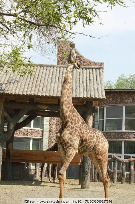 长颈鹿 园林 动物园 房子 吃 其他生物 摄影