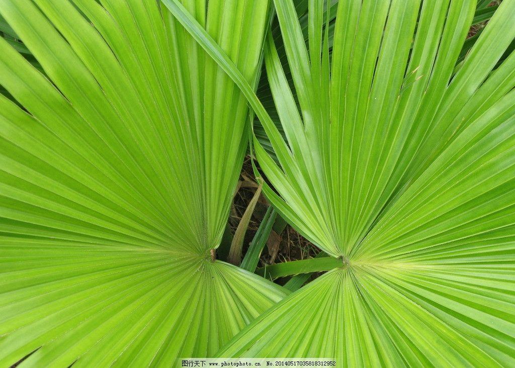 对称扇叶 绿色扇叶 扇形叶子 五月扇叶 夏天绿扇叶 树木树叶 生物世界