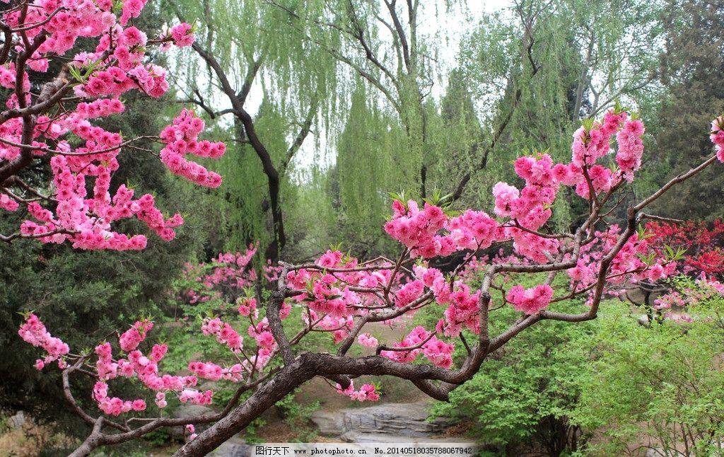 桃花 桃树 碧桃 红色 柳树 松树 花草 生物世界 摄影 72dpi jpg