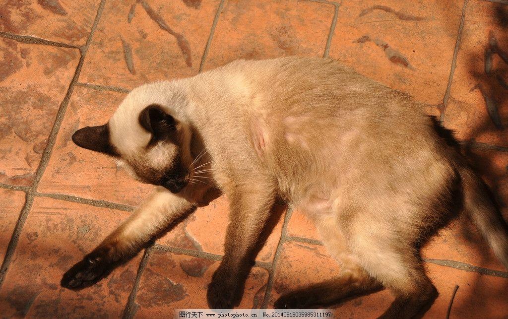 暹罗猫 泰国 动物世界 睡觉的猫 躺 家禽家畜 生物世界 摄影 300dpi