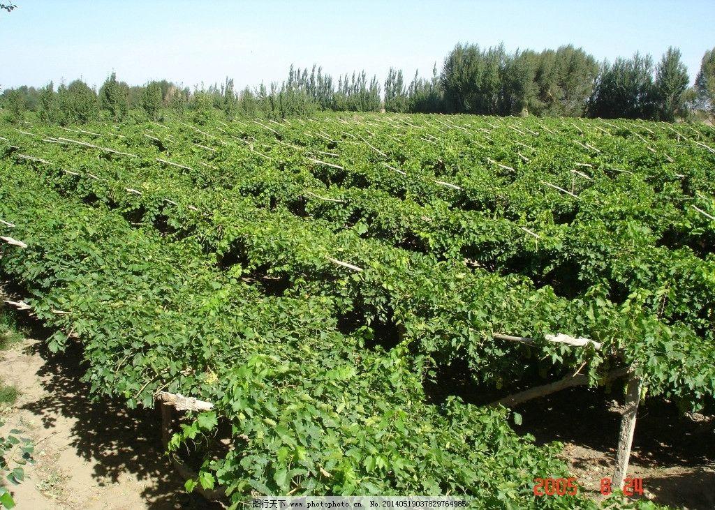 葡萄 农场 农村 城镇 建设 风景 农业生产 现代科技 摄影 72dpi jpg