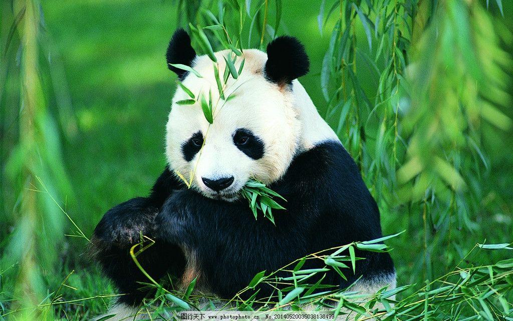 大熊猫 可爱动物 竹子 竹叶 国宝 摄影