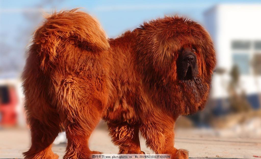 中华藏獒图片免费下载 72dpi jpg 动物 狗 奢侈品 摄影 生物世界 野生