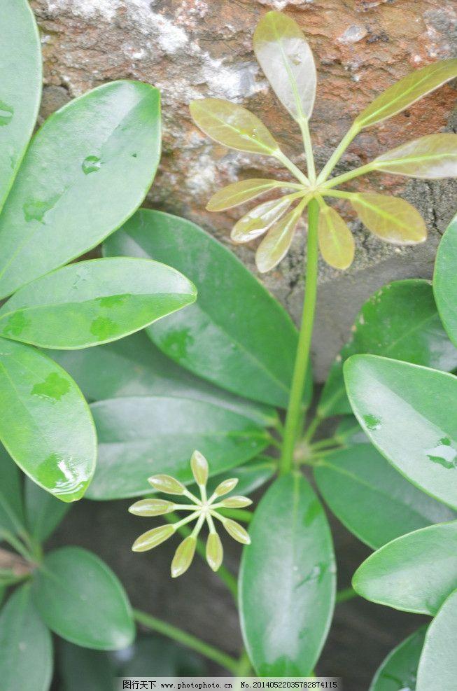摄影图 大学校园 花草 绿色植物 硬叶 七片叶子 嫩叶 草丛 墙面 植物