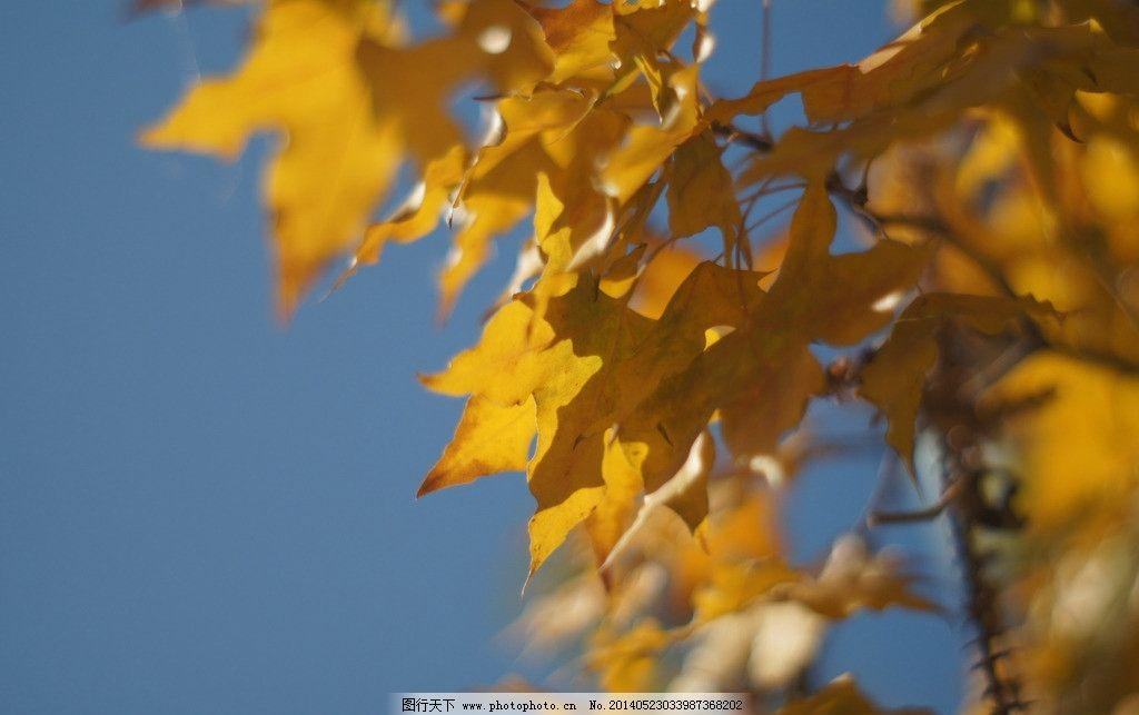 银杏 树叶 风 风景 秋景 花草树木及动物 国内旅游 摄影
