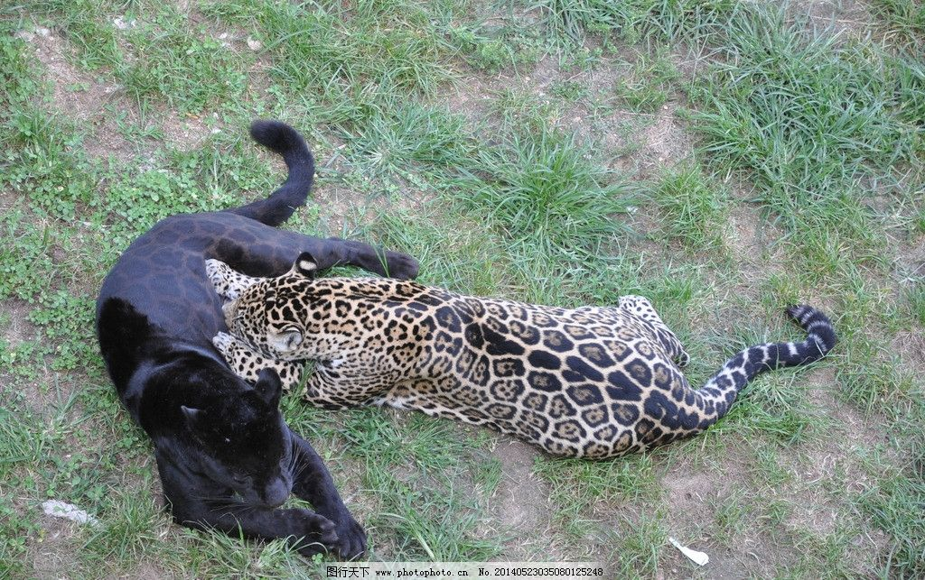 豹子 动物园 威海 老虎 野生动物 猫科 生物世界 摄影 300dpi jpg