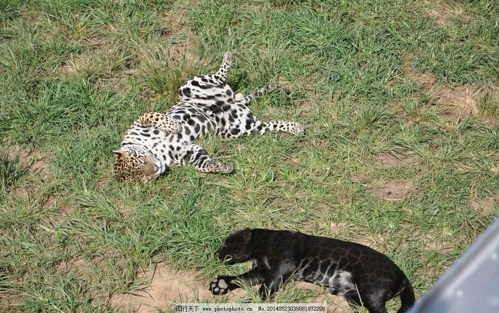动物 动物园 威海 老虎 野生动物 猫科 生物世界 摄影 300dpi jpg