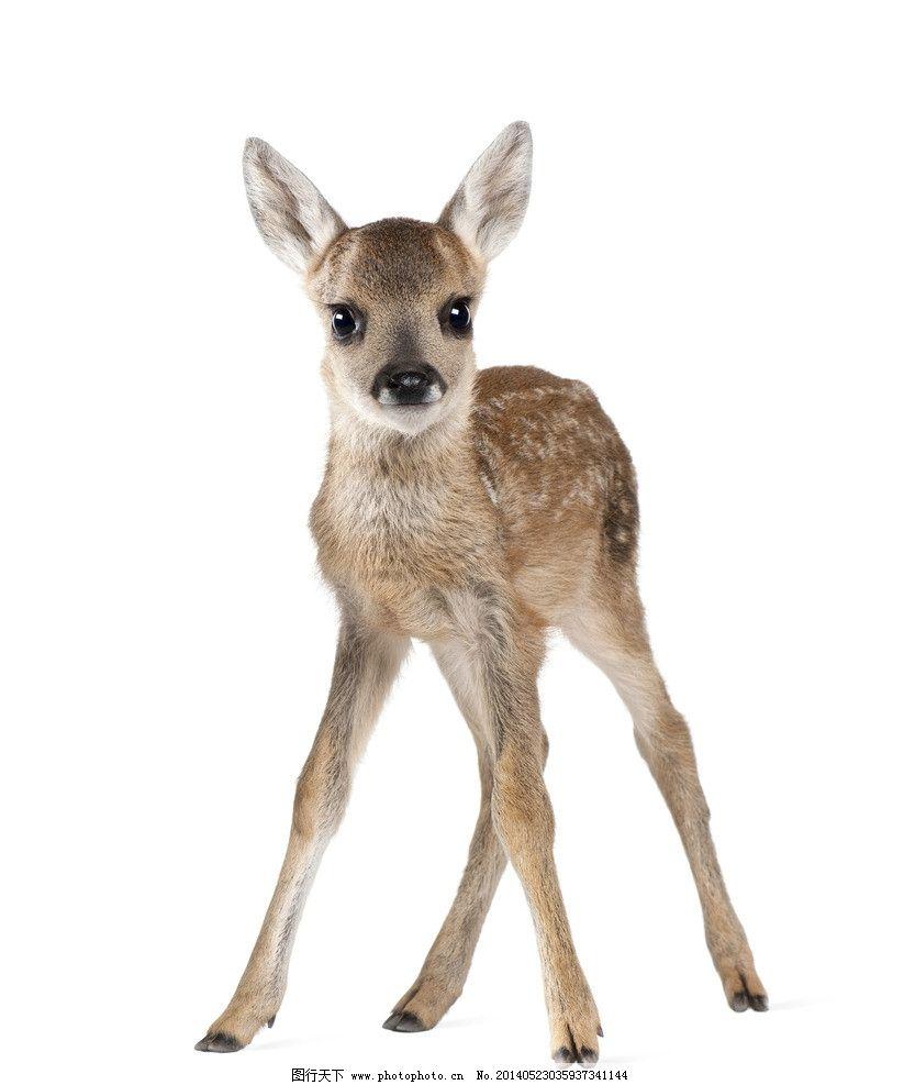梅花鹿 野生动物 可爱动物 单个动物 鹿 家禽家畜 生物世界 摄影 300