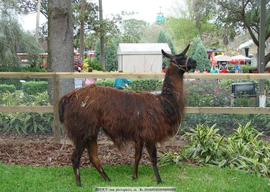 羊驼 动物 公园 美国 动物园 摄影