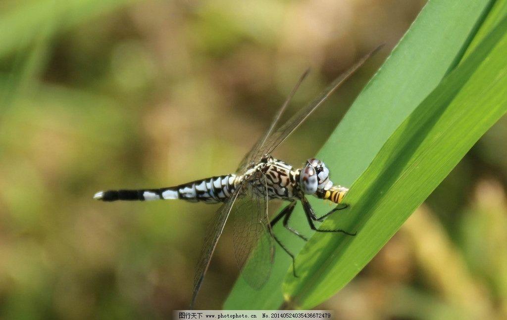蜻蜓吃虫子 绿草 动物 昆虫 生物世界 摄影