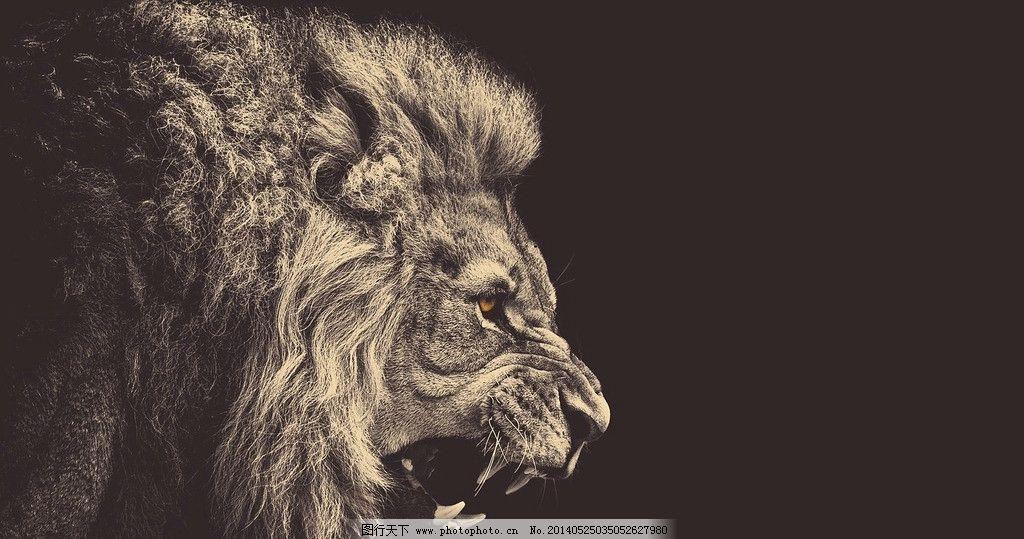 高清壁纸 狮子 桌面 动物 背景 野生动物 生物世界 摄影 72dpi jpg