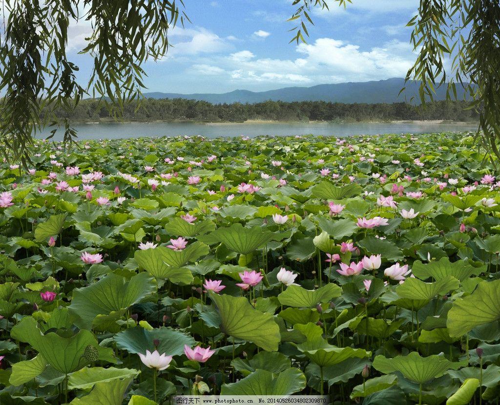 荷塘垂柳 荷塘 垂柳 荷花 风光 清新 自然风景 自然景观 摄影 300dpi