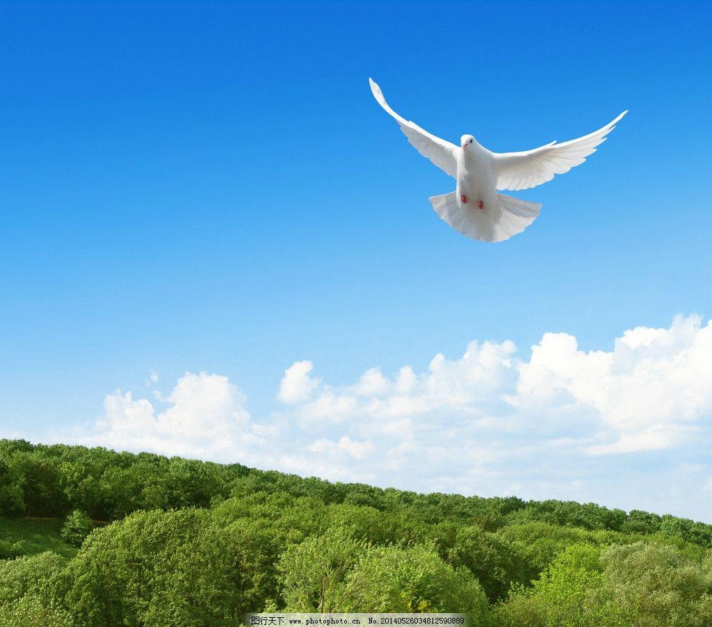 设计图库 自然景观 自然风景  鸽子白鸽小鸟 鸽子 白鸽 小鸟 鸟类