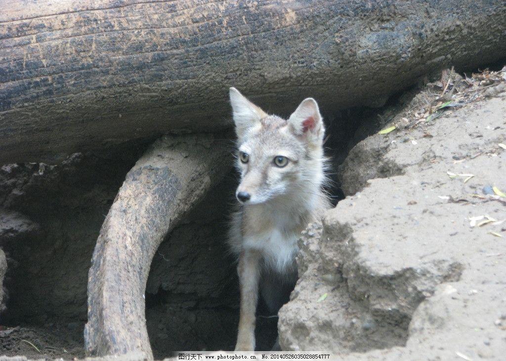 动物园 狐狸图片