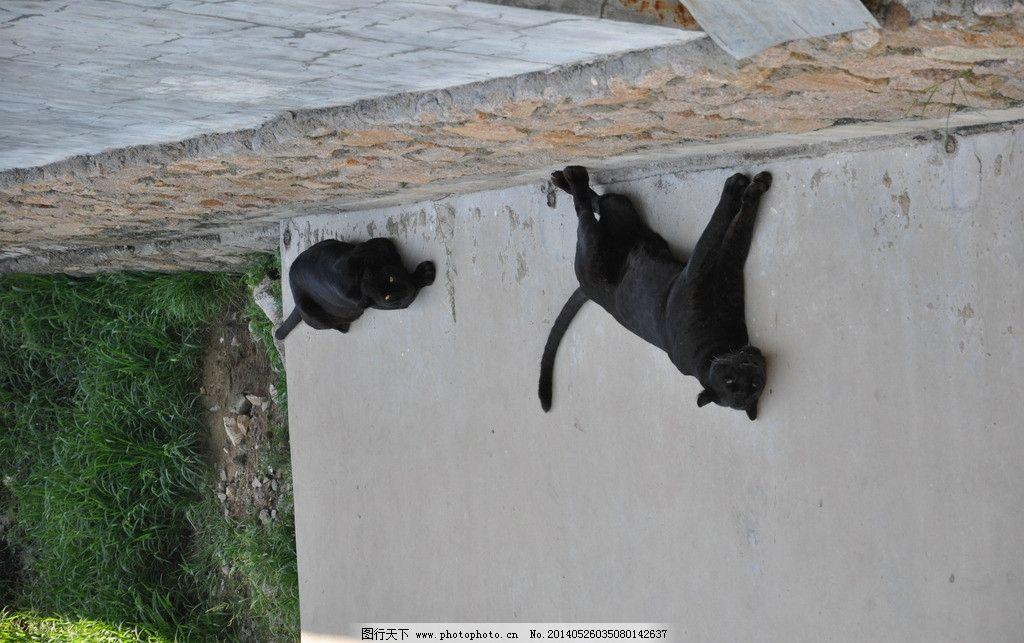 豹子 野生 动物 动物园 黑豹子 摄影