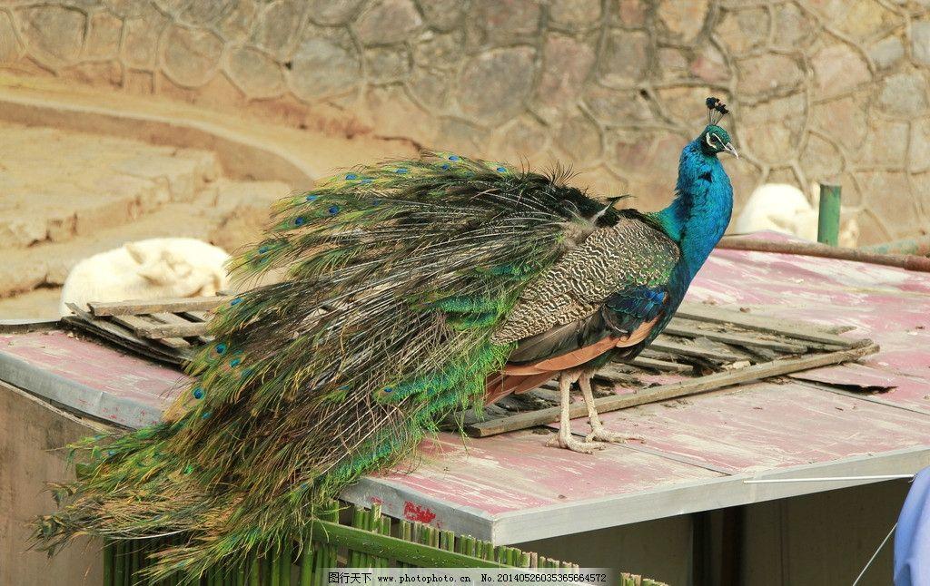孔雀 动物园 休息 美丽 羽毛 鸟类 生物世界 摄影 72dpi jpg