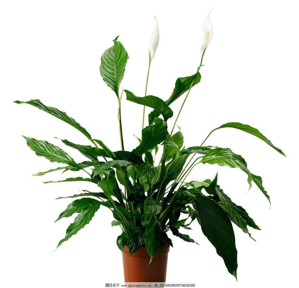 室内盆栽 白鹤芋 盆栽 花草 植物 绿色 生物世界 摄影 72dpi jpg