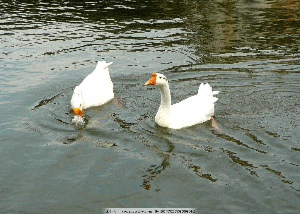 水中戏 图片素材下载 鹅鹅 自然 动物 鹅 生态 白色 家禽家畜 生物