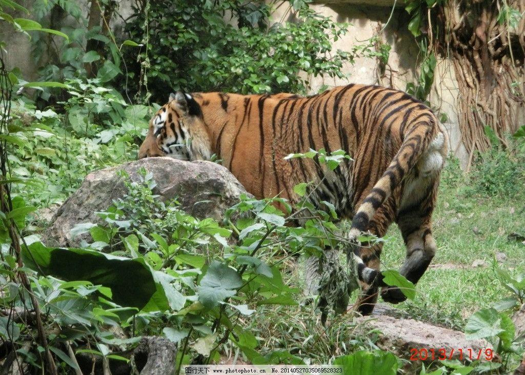 广洲动物园老虎 广洲动物园的老虎 老虎 大老虎 森林里的老虎 真老虎