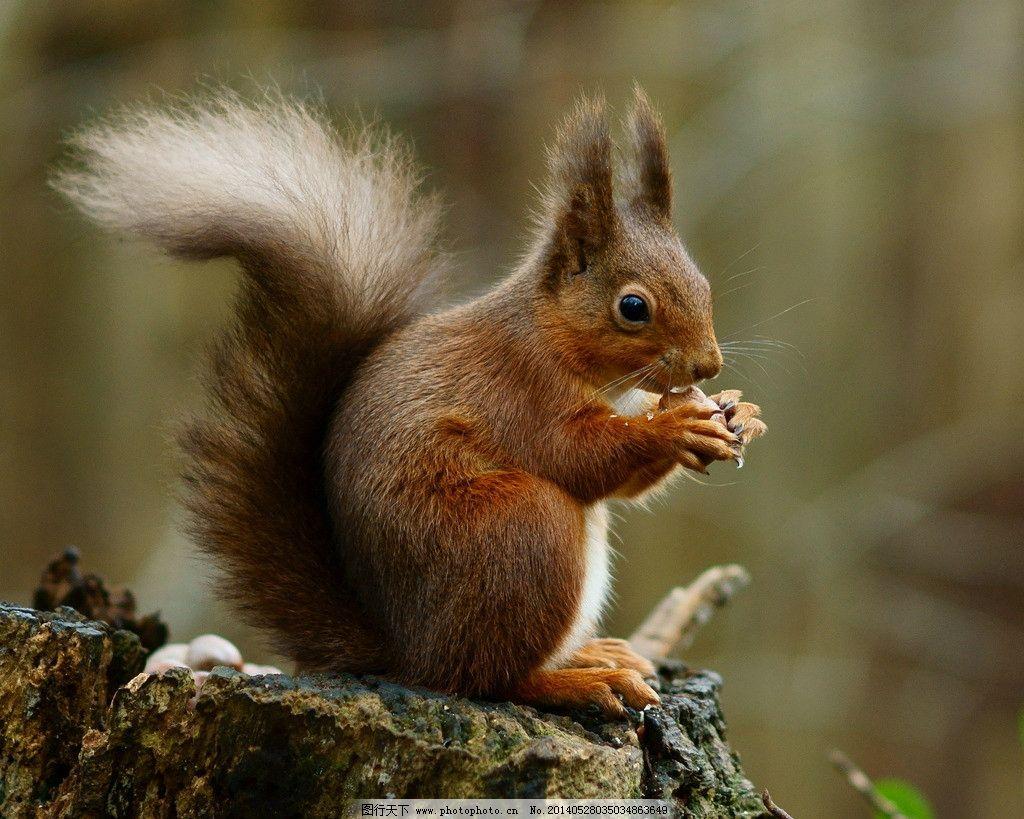 松鼠 摄影 生物 动物 哺乳动物 野生动物 生物世界 72dpi jpg
