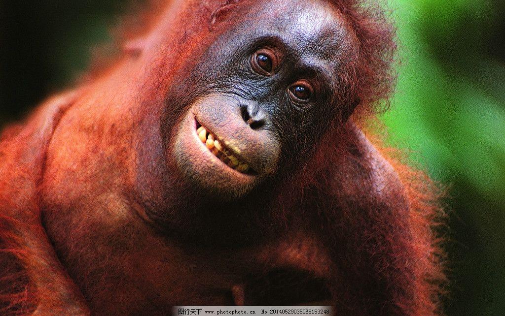 猩猩 猴子 猿猴 动物 灵长类 野生动物 生物世界 摄影 304dpi jpg