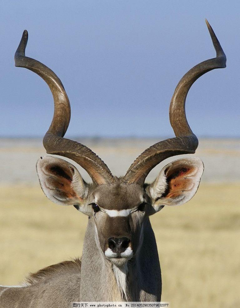 捻角羚 摄影 生物 动物 羚羊 野生动物 生物世界