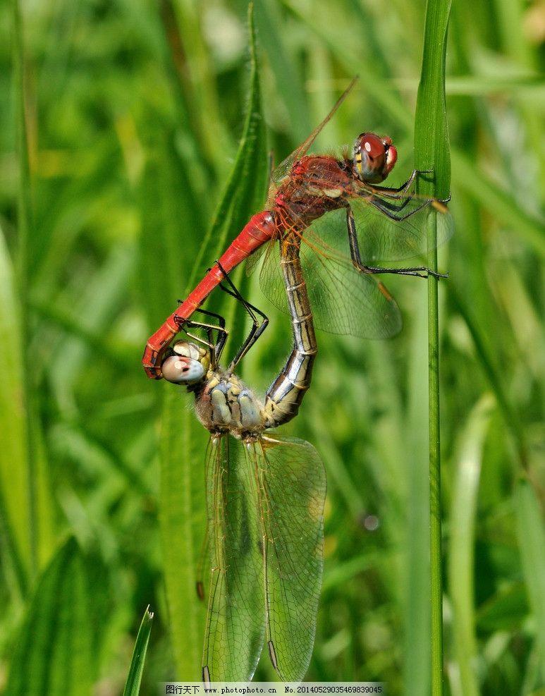 交配的蜻蜓 蜻蜓 摄影 生物 动物 昆虫 交配 生物世界 300dpi jpg