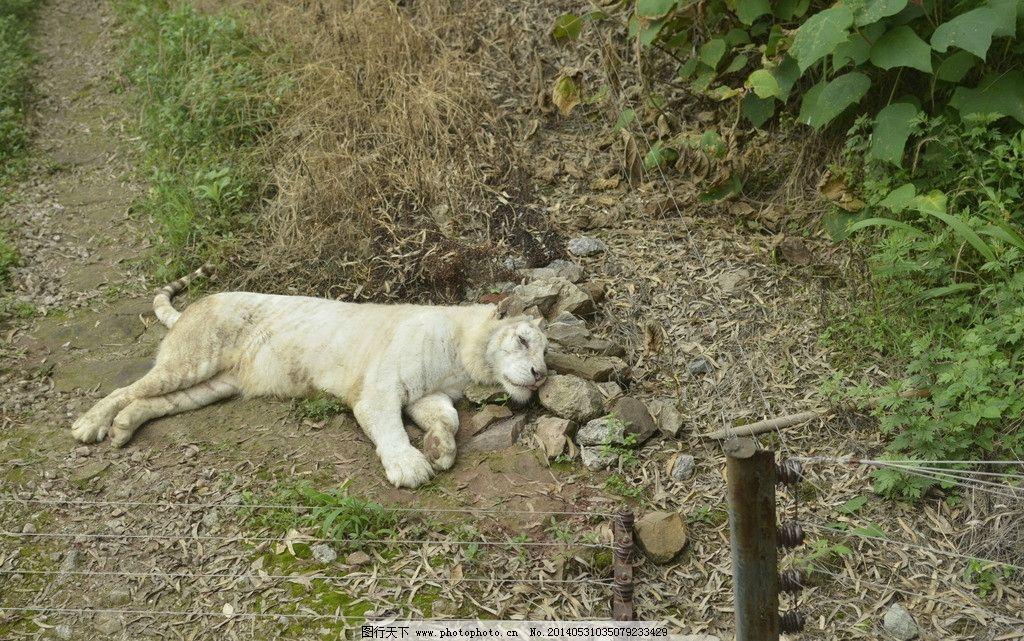 白虎 老虎 银虎 猫科 动物园 凶残 休息 生存 珍稀动物 野生动物