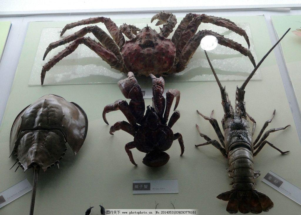 虾蟹模型 甲克动物 蟹 龙虾 动物模型 动物标本 橱窗 展览 展示 自然