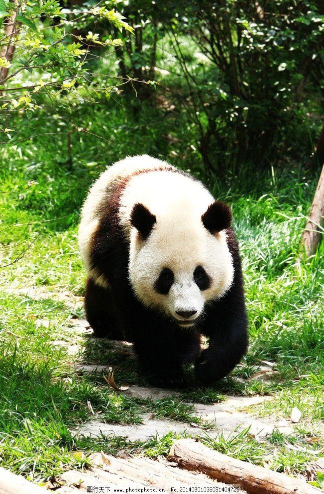 熊猫 四川 成都 熊猫基地 国宝 草地 绿树 野生动物 生物世界 摄影 72