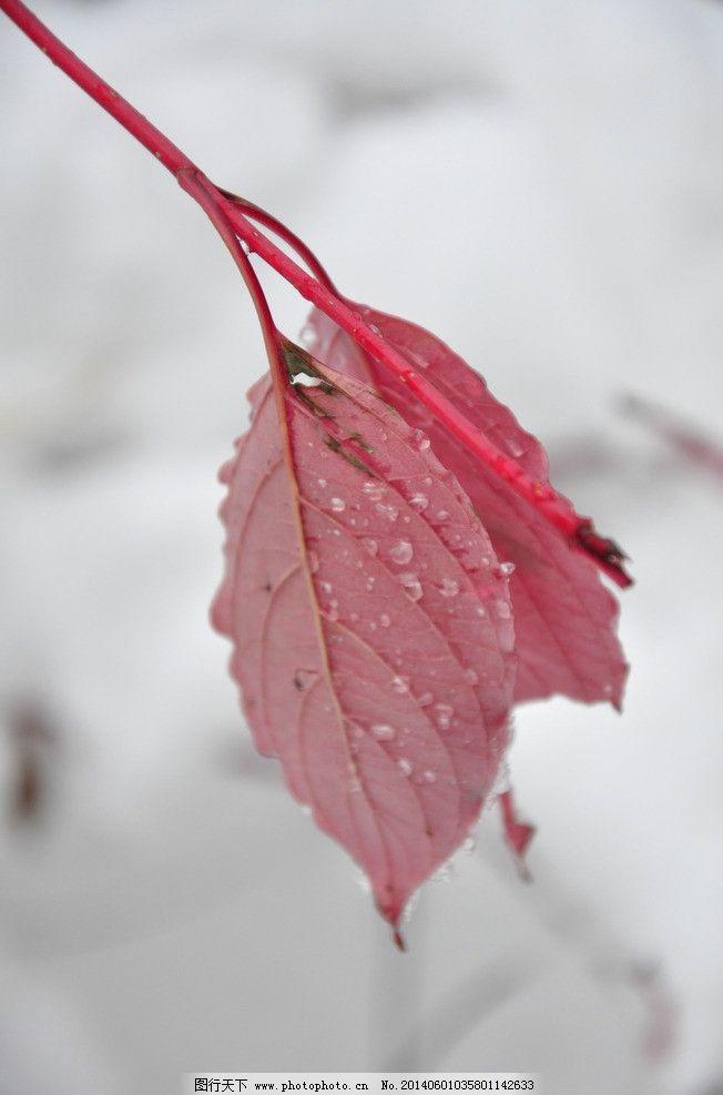 叶子 冬季 枫叶 红叶 雪 树木树叶 生物世界 摄影 300dpi jpg图片