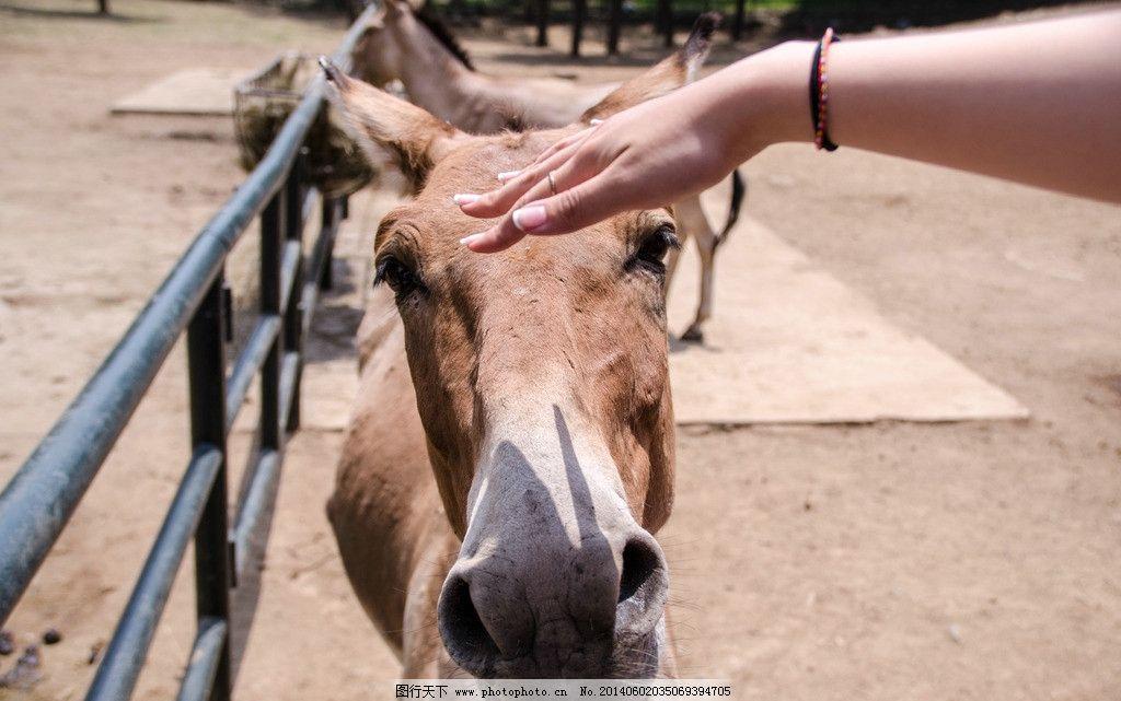 广西野驴 动物园 手 透视 大鼻孔 野生动物 生物世界 摄影 300dpi jpg