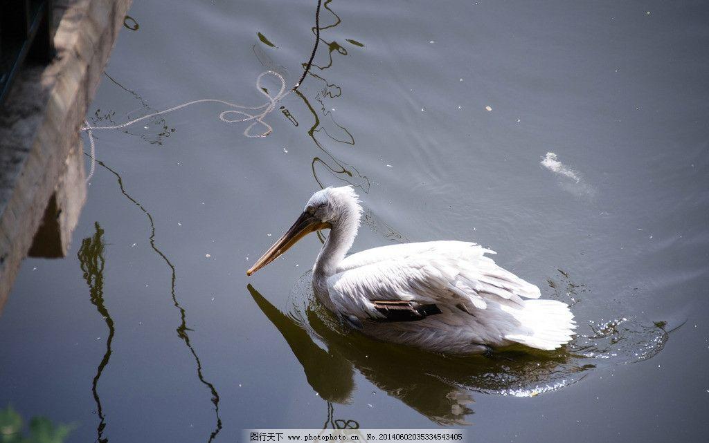 天鹅 湖水 倒影 鸟类 动物园 生物世界 摄影 300dpi jpg