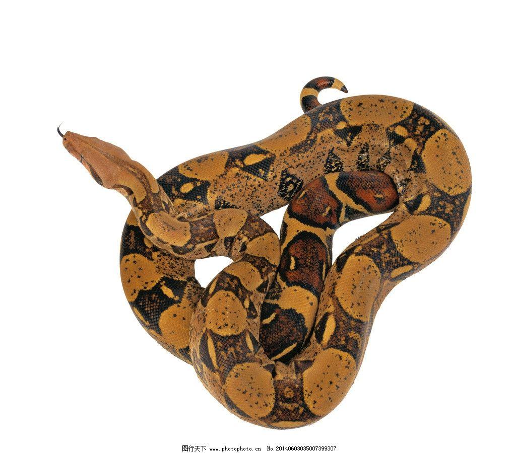 蟒蛇 蛇 动物 爬行 高清写真 野生动物 生物世界 摄影 72dpi jpg