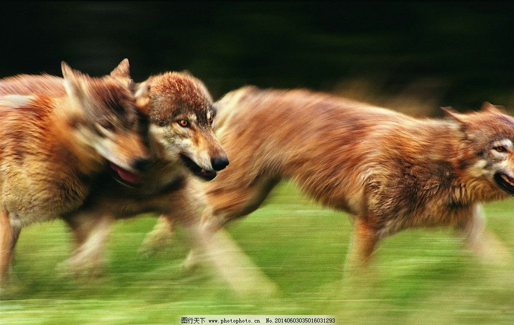 草原狼 狼 动物 野生动物 草原动物 柴狗 生物世界 摄影 304dpi jpg