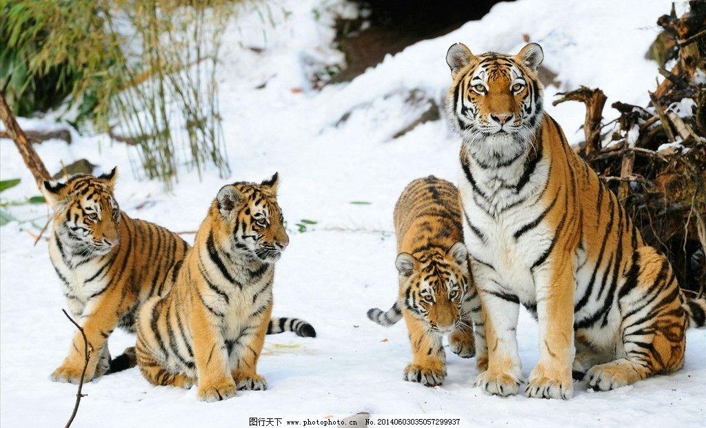 老虎 动物图片 图片下载 雪地 树木 哺乳类 凶猛野兽 动物世界