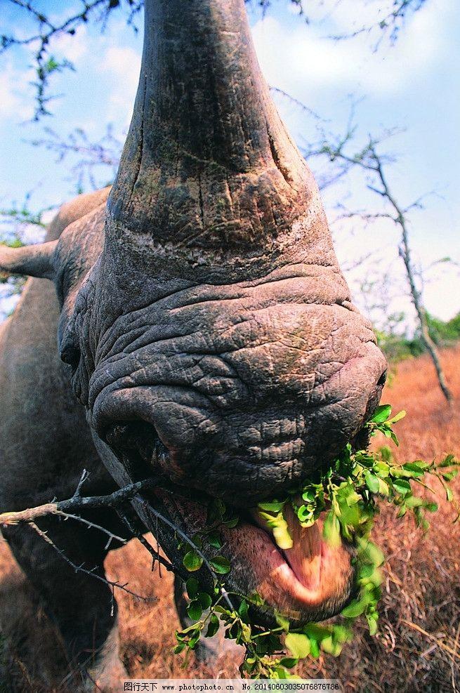 犀牛 动物 草原动物 犀牛角 摄影