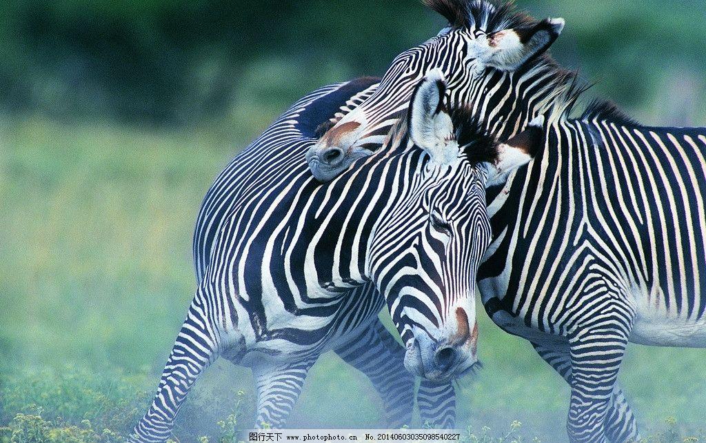 斑马 非洲草原 动物 野生动物 草原动物 可爱动物 生物世界 摄影 72