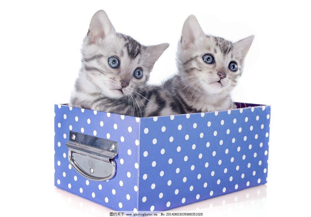 可爱猫咪 猫 小猫 猫咪 花猫 幼猫 猫仔 礼盒 盒子 宠物 萌宠 可爱 萌 盒中宠物 宠物礼品 宠物商品 商品 宠物买卖 宠物出售 出售 出售宠物 领养 领养宠物 家禽家畜 生物世界 摄影 300DPI JPG