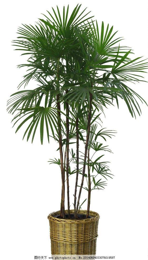 棕榈树盆栽 棕榈树 盆栽 大叶 绿色植物 高清 其他 psd分层素材 源