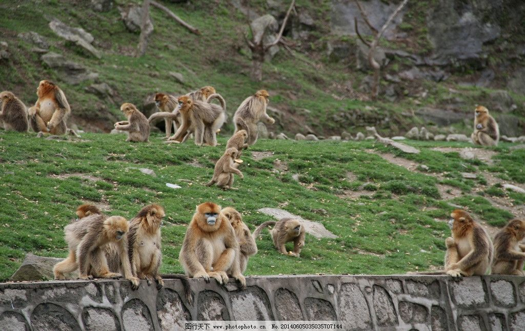 金丝猴群 猴子 华阳 古镇